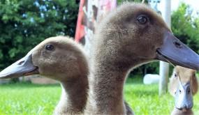 Ducks (2)